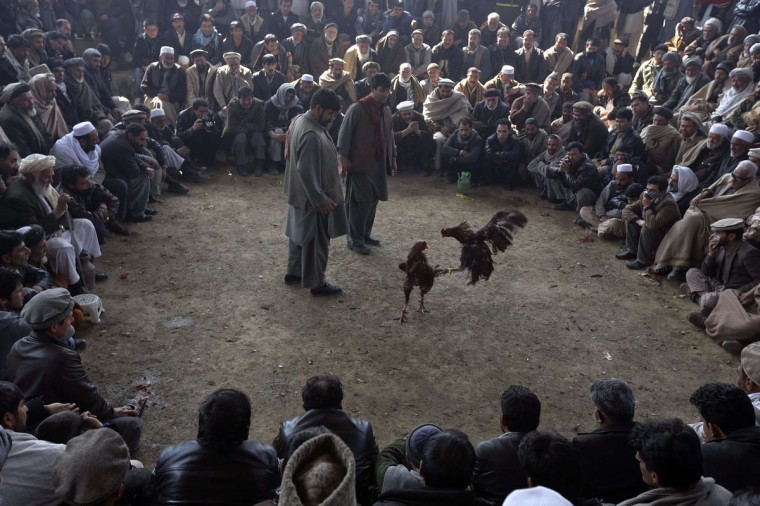 Afghan men watch as roosters fight during a traditional cockfighting competition in Kabul March 1, 2013. (Omar Sobhani/Reuters)