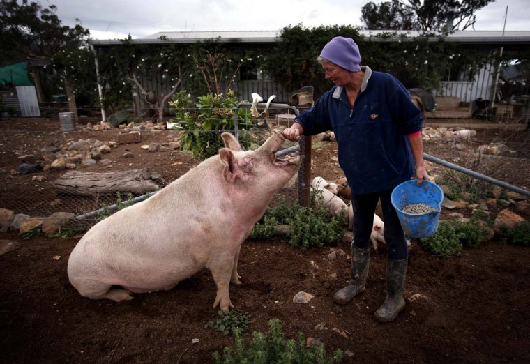 Farmer Lindy Haynes rubs the snout of her favourite pig named 'Peanut' outside her home on her property known as 'Pigsville' in the New South Wales town of Mudgee, located 155 miles west of Sydney March 2, 2013. Haynes believes that all farm animals should be 'free range', and allows the pigs, chickens, cats and dogs on her farm to move freely in and out of her house, with most sleeping inside at night. Picture taken March 2, 2013. (David Gray/Reuters)