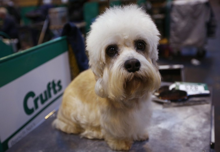 A Dandie Dinmont Terrier awaits judging during the first day of the Crufts Dog Show in Birmingham, central England. (Darren Staples/Reuters photo)