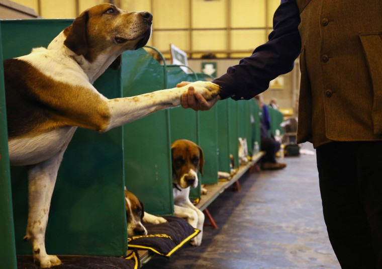 A man shakes the paw of a Foxhound during the first day of the Crufts Dog Show in Birmingham, central England. (Darren Staples/Reuters photo)
