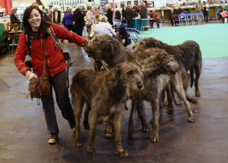 A woman struggles with four Irish Wolfhound dogs during the first day of the Crufts Dog Show in Birmingham, central England. (Darren Staples/Reuters photo)