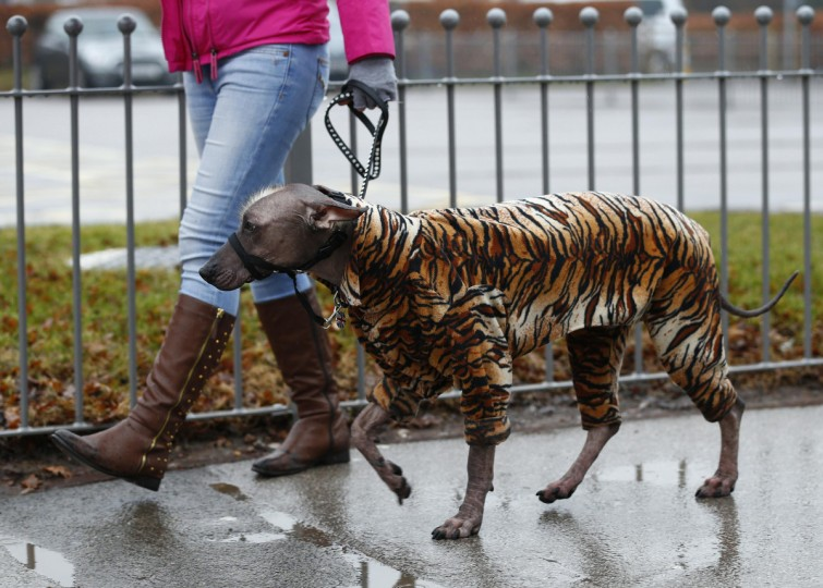 A dog arrives wearing a tiger print coat during the first day of the Crufts Dog Show in Birmingham, central England. (Darren Staples/Reuters photo)