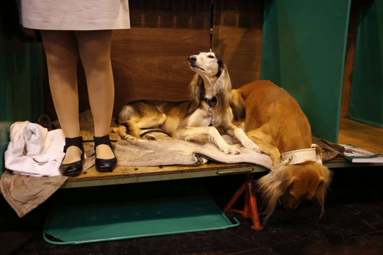 Two Saluki dogs lie on a bench during the first day of the Crufts Dog Show. (Darren Staples/Reuters photo)
