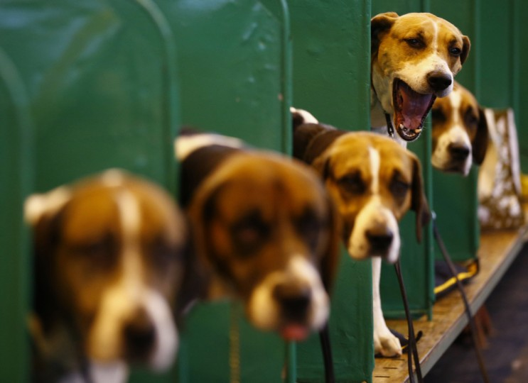 A Foxhound yawns during the first day of the Crufts Dog Show in Birmingham. (Darren Staples/Reuters photo)