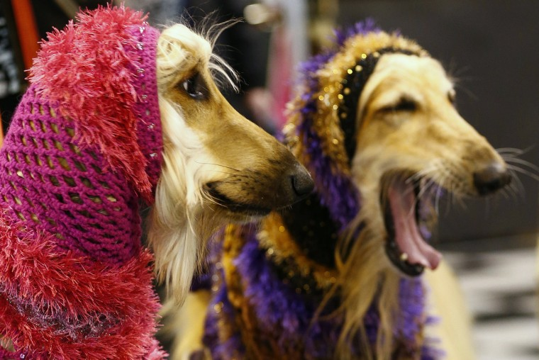 Afghan Hounds wear hoods during the first day of the Crufts Dog Show in Birmingham, central England. (Darren Staples/Reuters photo)
