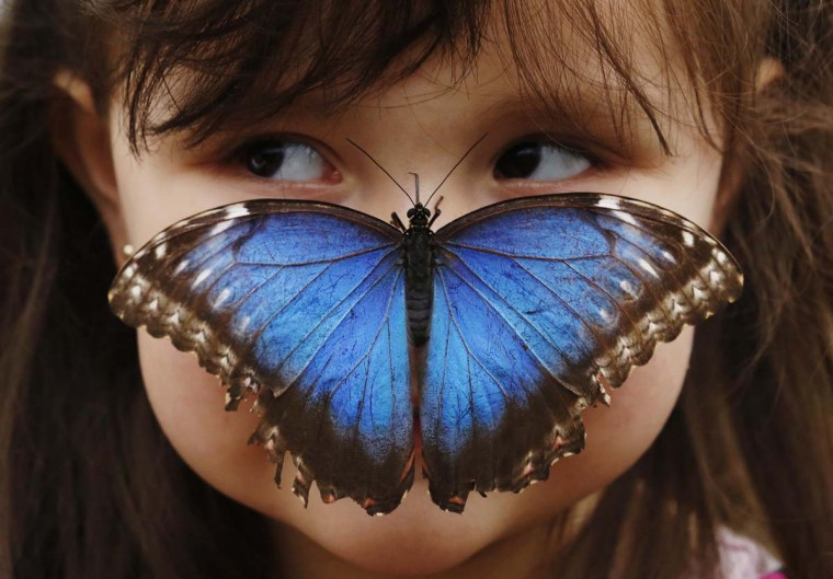 Stella Ferruzola, 3, poses with a Blue Morpho butterfly on her nose at the Sensational Butterflies Exhibition at the Natural History Museum in London March 25, 2013. (Luke MacGregor/Reuters)