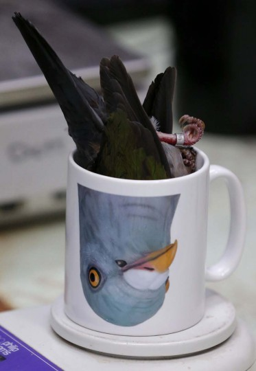 An Emerald Dove is placed in a mug to be weighed during the annual bird health check at Chester Zoo in Chester northern England March 6, 2013. (Phil Noble/Reuters)