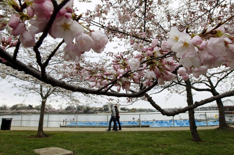 March 23, 2011: Sightseers are pictured under the early blooms of cherry trees as they stroll along the Tidal Basin in Washington. (Stelios Varias/Files/Reuters)