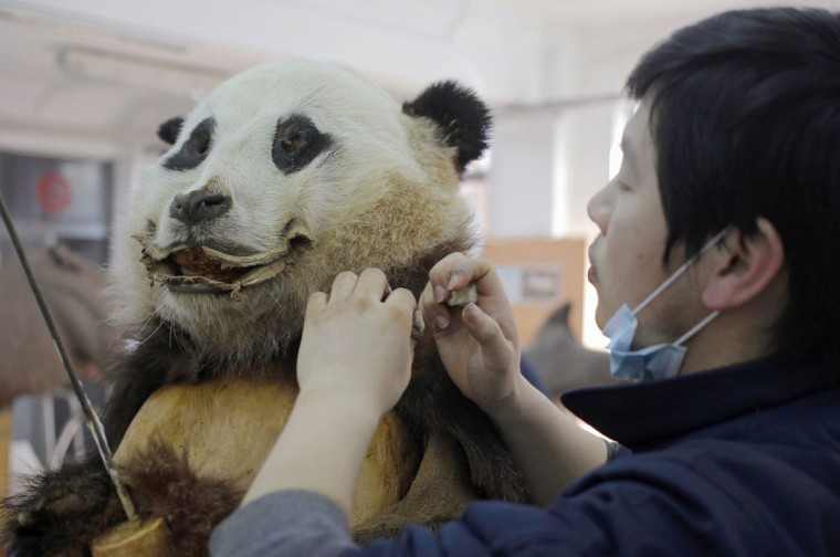 An employee works on a specimen of a panda for Shanghai Nature museum at a specimen centre in Shanghai February 27, 2013. The centre, which started production in 2007, takes about three months to complete a panda specimen and has made some 500 specimens to date. (China Daily/Reuters)