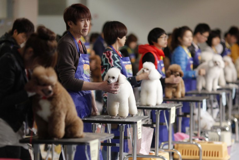 A man hold a Miniature Poodle during a dog beauty contest during the Shanghai International Dog Show, in Shanghai. In a country where dog meat is still being consumed, dog shows got their start about 15 years ago and are gaining popularity among a fast-growing sector of upper-class Chinese. (Carlos Barria/Reuters)