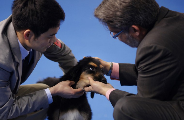A judge checks Rachel, a three-month-old Afghan Hound, as her trainer (L) holds her during the Shanghai International Dog Show, in Shanghai. Rachel, the offspring of an award-winning dog, was bought by her new owners for 35.000RMB ($5,600). The Afghan Hound represents one of the oldest dog breeds, and is distinguished by its thick, silky coat and its tail with a ring curl at the end. The breed acquired its unique features in the cold mountains of Afghanistan and east of Iran, where it was originally used to hunt hares and gazelles. (Carlos Barria/Reuters)