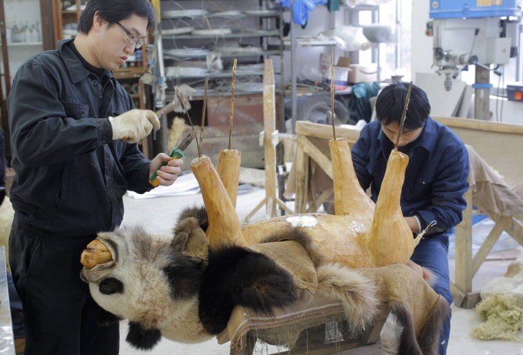 Employees work on a specimen of a panda for Shanghai Nature museum at a specimen centre in Shanghai February 27, 2013. The centre, which started production in 2007, takes about three months to complete a panda specimen and has made some 500 specimens to date. (China Daily/Reuters)