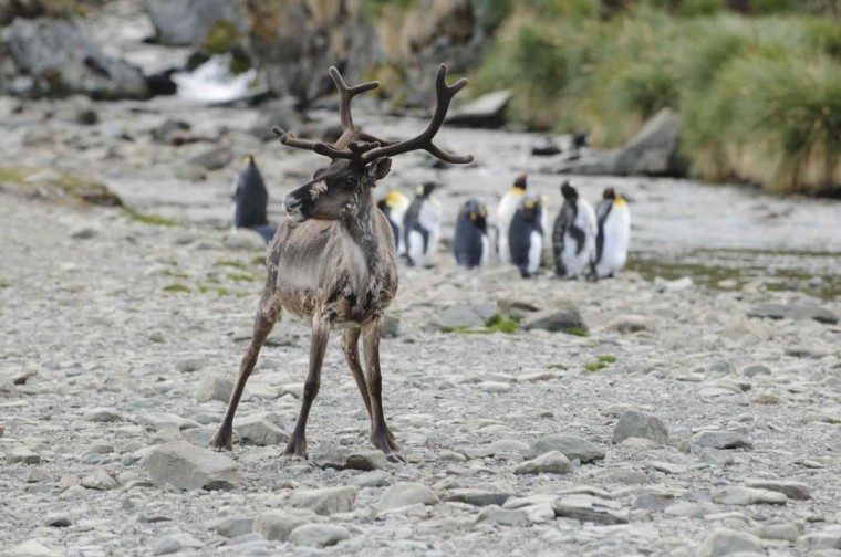 A reindeer is seen near king penguins on a beach of the South Georgia islands January 20, 2013. Hunters have culled 3,500 reindeer on the British islands of South Georgia near Antarctica in a step to get rid of animals introduced a century ago from Norway as a source of food. Reindeer numbers have surged and their trampling is a threat to plants and to seabirds nesting on the ground. (Alastair Wilson/HO via Reuters)