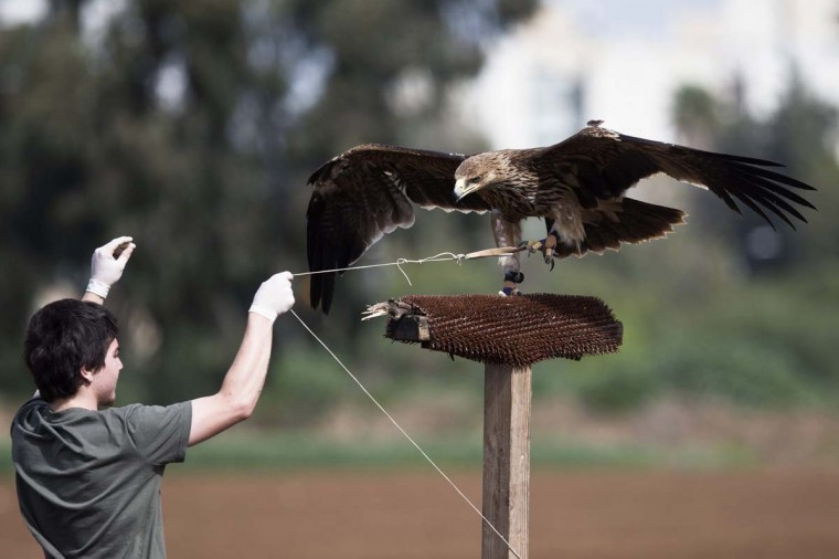 A worker of the Ramat Gan Safari Park Wildlife Hospital pulls a string tied to the claw of a female Imperial Eagle as he helps it to regain its flying ability at a park near Tel Aviv March 3, 2013. Brought to the wildlife hospital some four months ago with a broken wing, the eagle underwent surgery and physiotherapy. The training is needed in order to build the eagle's flight muscles, which were atrophied while it was recovering from the injury. The eagle will be released in a few days, safari spokeswoman Sagit Horowitz said on Sunday. (Nir Elias/Reuters)