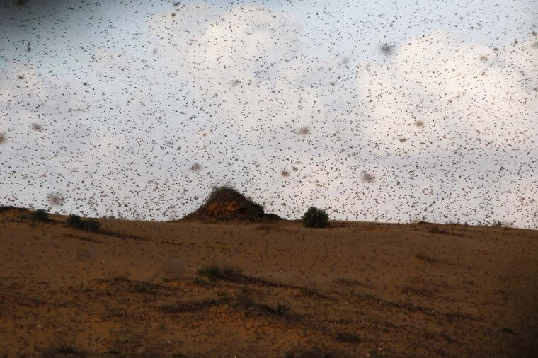 A swarm of locusts fly near Kmehin in Israel's Negev desert March 5, 2013. The Israeli Ministry of Agriculture and Rural Development said on Tuesday that the location of the locusts which crossed into Israel from neighbouring Egypt had been mapped and and will be fumigated tomorrow. (Amir Cohen/Reuters)