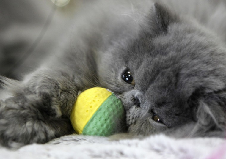 "A Persian cat is pictured during the international ""Pet Expo"" show in Riga, Latvia. (Ints Kalnins/Reuters)"