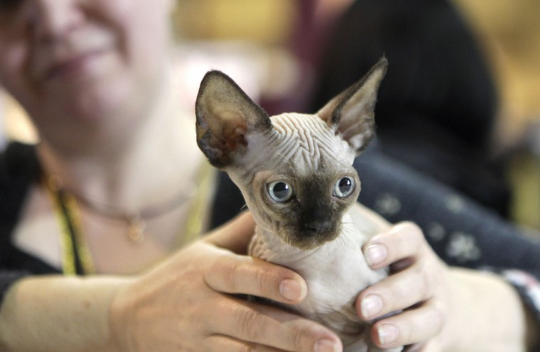 "An owner shows her Devon Rex cat during the international ""Pet Expo"" show in Riga, Latvia. (Ints Kalnins/Reuters)"