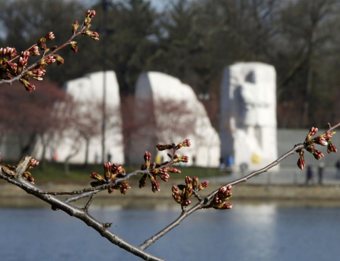 April 5, 2013: Cherry blossom buds that have yet to bloom are seen around the Tidal Basin in Washington. The Martin Luther King, Jr. Memorial is seen in the background. (Gary Cameron/Reuters)