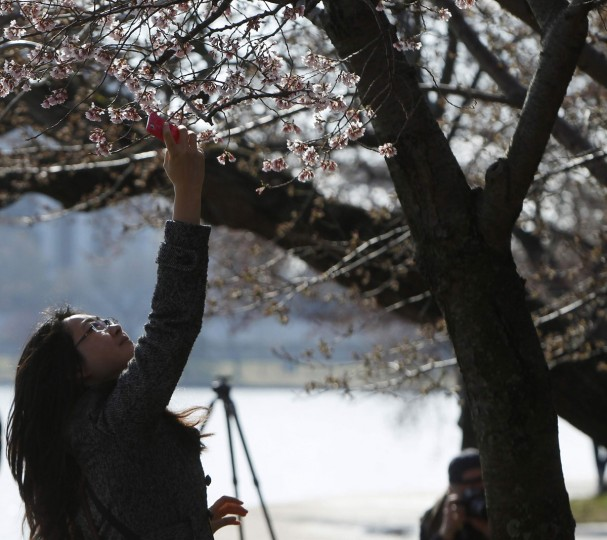April 5, 2013: A woman uses her camera phone to photograph cherry blossom buds that are beginning to bloom around the Tidal Basin in Washington. (Gary Cameron/Reuters)