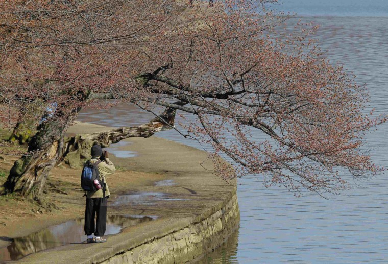 April 5, 2013: A man photographs cherry blossom buds that have yet to bloom around the Tidal Basin in Washington. (Gary Cameron/Reuters)