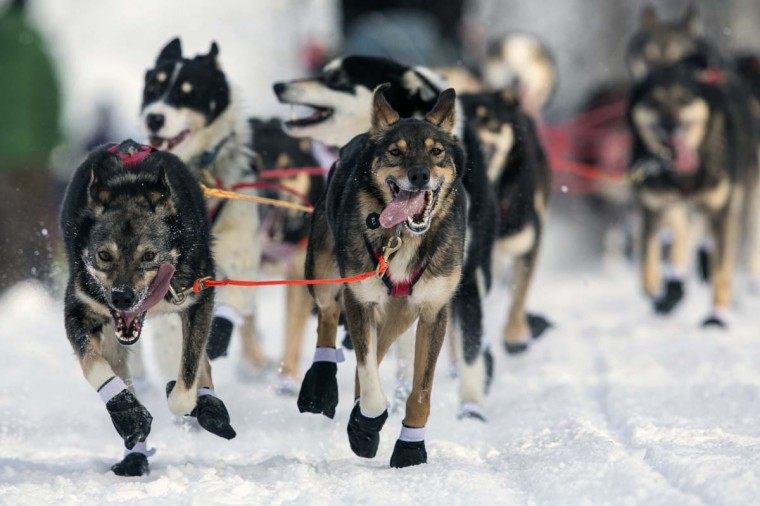Louie Ambrose's team charges down the trail at the re-start of the Iditarod dog sled race in Willow, Alaska March 3, 2013. From Willow, the race runs for almost 1000 miles as it crosses the state. (Nathaniel Wilder/Reuters)