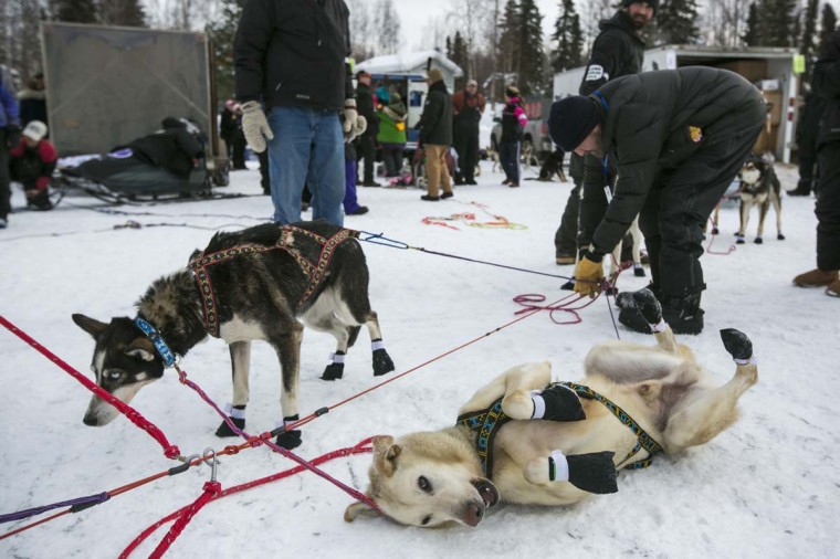 A dog from Scott Janssen's team lies on the snow before the re-start of the Iditarod dog sled race in Willow, Alaska March 3, 2013. From Willow, the race runs for almost 1000 miles as it crosses the state. (Nathaniel Wilder/Reuters)