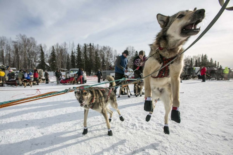 A dog from Jeff King's team leaps before it hits the trail at the re-start of the Iditarod dog sled race in Willow, Alaska March 3, 2013. From Willow, the race runs for almost 1000 miles as it crosses the state. (Nathaniel Wilder/Reuters)