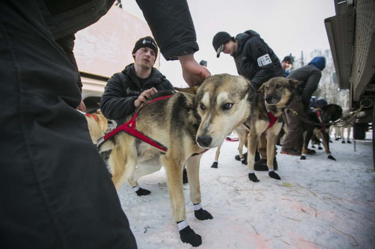 Dallas Seavey, 25, winner of the 2012 Iditarod, prepares his team at the re-start of the Iditarod dog sled race in Willow, Alaska March 3, 2013. From Willow, the race runs for almost 1000 miles as it crosses the state. (Nathaniel Wilder/Reuters)