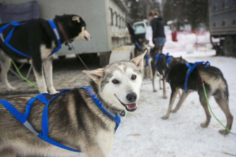 A dog belonging to Nicolas Petit's team awaits the re-start of the Iditarod dog sled race in Willow, Alaska March 3, 2013. From Willow, the race runs for almost 1000 miles as it crosses the state. (Nathaniel Wilder/Reuters)