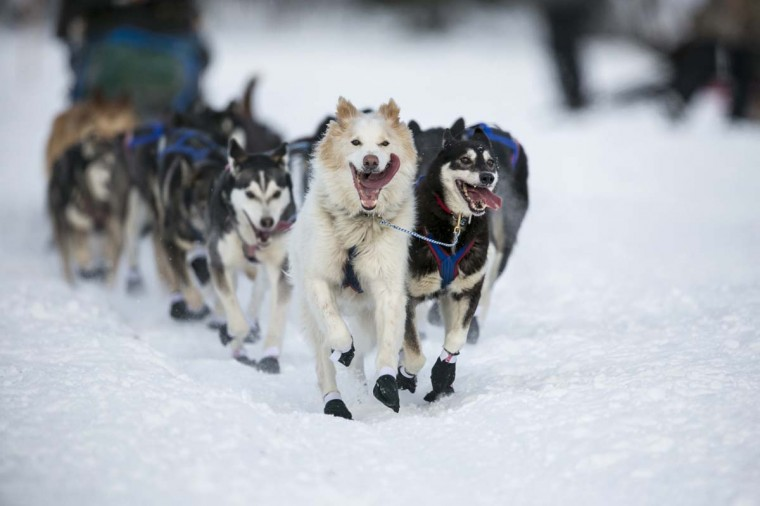 The lead dogs of Sonny Lindner charge down the trail after the re-start of the Iditarod dog sled race in Willow, Alaska March 3, 2013. From Willow, the race runs for almost 1000 miles as it crosses the state. (Nathaniel Wilder/Reuters)