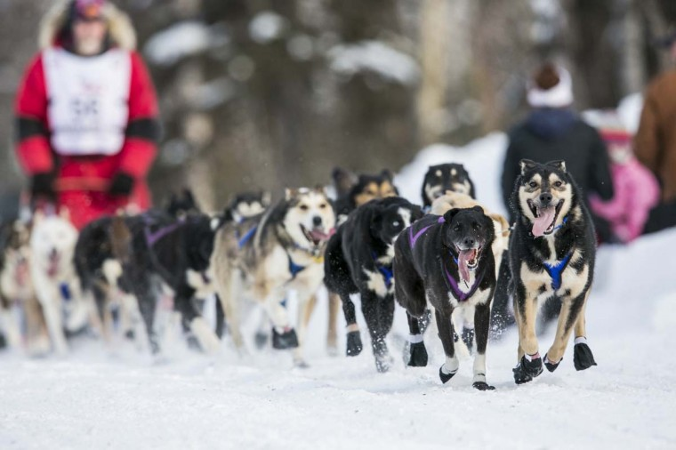 David Sawatzky's team charges down the trail after the re-start of the Iditarod dog sled race in Willow, Alaska March 3, 2013. From Willow, the race runs for almost 1000 miles as it crosses the state. (Nathaniel Wilder/Reuters)