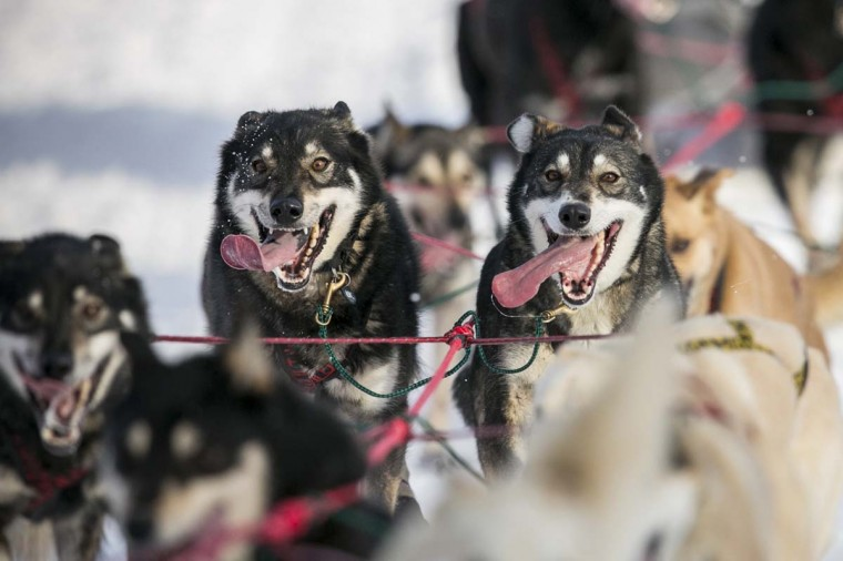 Gerald Sousa's team charges down the trail at the re-start of the Iditarod dog sled race in Willow, Alaska March 3, 2013. From Willow, the race runs for almost 1000 miles as it crosses the state. (Nathaniel Wilder/Reuters)