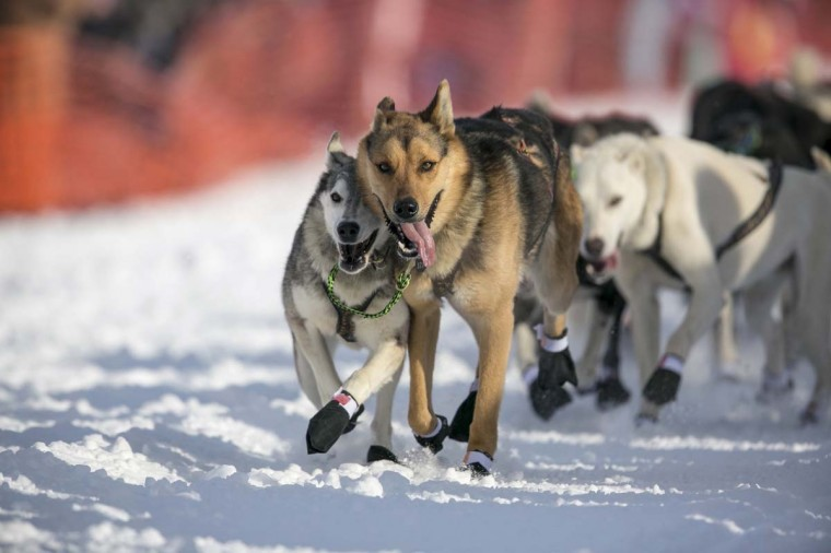 The lead dogs of Cindy Gallea charge down the trail at the re-start of the Iditarod dog sled race in Willow, Alaska March 3, 2013. From Willow, the race runs for almost 1000 miles as it crosses the state. (Nathaniel Wilder/Reuters)