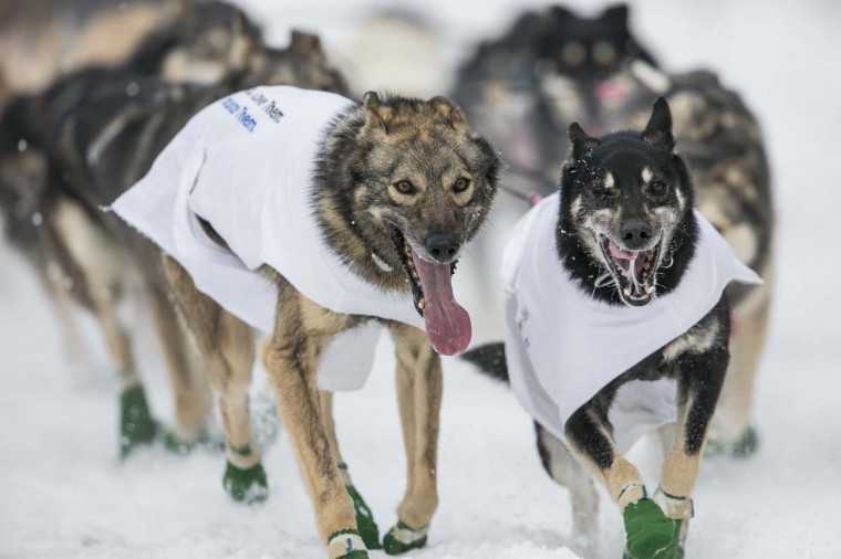 The lead dogs of musher Richie Diehl race down 4th Avenue at the ceremonial start to the Iditarod dog sled race in downtown Anchorage, Alaska March 2, 2013. (Nathaniel Wilder/Reuters)