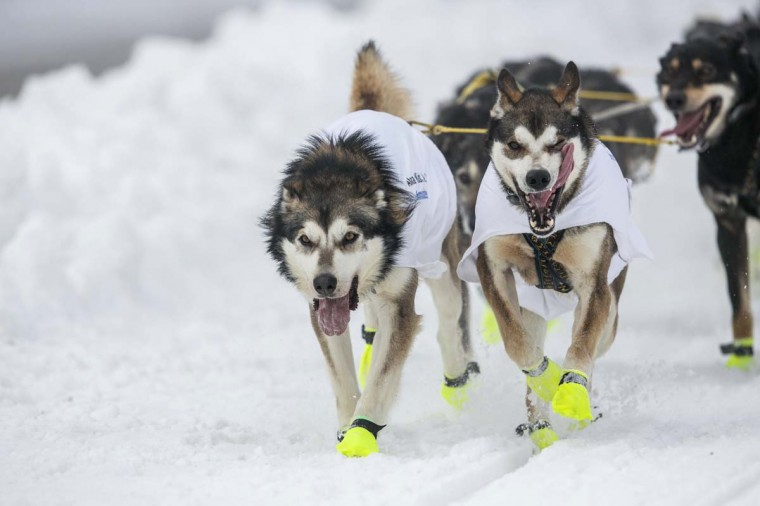 The lead dogs of musher Brent Sass race down 4th Avenue at the ceremonial start to the Iditarod dog sled race in downtown Anchorage, Alaska March 2, 2013. (Nathaniel Wilder/Reuters)