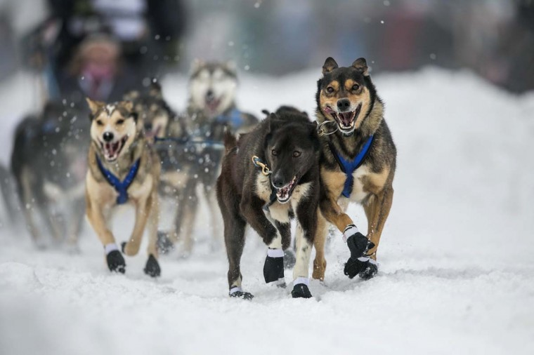 The dogs of musher Jessica Hendricks charge out of the start gate at the ceremonial start to the Iditarod dog sled race in downtown Anchorage, Alaska March 2, 2013. (Nathaniel Wilder/Reuters)