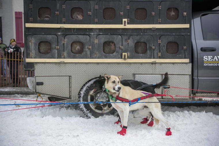 A dog team are seen before the line up to race during the ceremonial start to the Iditarod dog sled race in downtown Anchorage, Alaska March 2, 2013. (Nathaniel Wilder/Reuters)