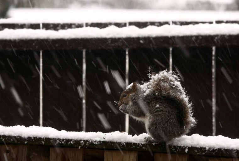 A squirrel sits atop a snowy fence as it nibbles on food during a snowstorm in Arlington, Virginia, March 6, 2013. A fierce snowstorm packing heavy, wet snow shut down the U.S. capital on Wednesday after blanketing the midwest, leaving thousands without power and forcing hundreds of flights to be cancelled. (Jason Reed/Reuters)