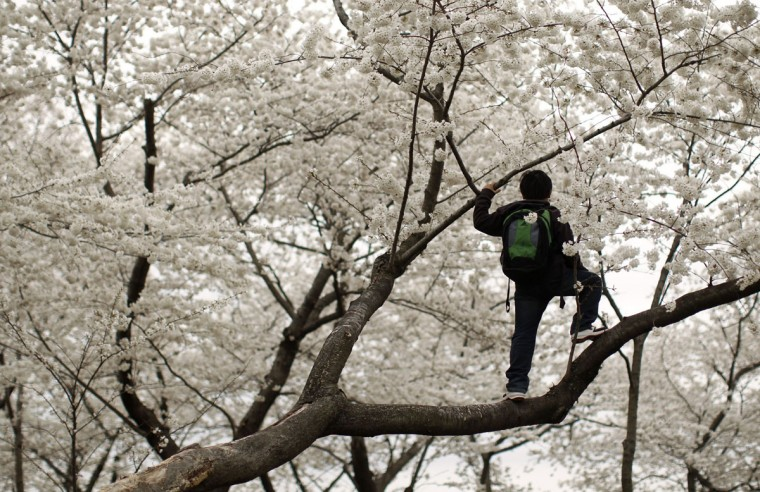 March 30, 2011: A boy climbs into a tree to photograph blossoms near the Washington Monument in Washington. (Kevin Lamarque/Reuters)