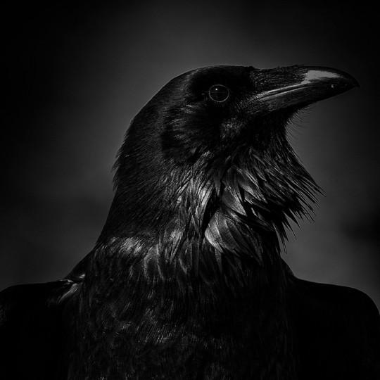 """""""Raven"""" photo by Don Vetter"""