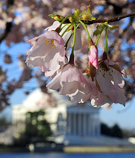March 31, 2009: The Jefferson Memorial amid blooming cherry trees in Washington, DC. (Karen Bleier/AFP/Getty Images)