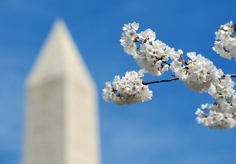 March 29, 2011: The Washington Monument is seen through cherry blossoms on in Washington, DC. (Jewel Samad/AFP/Getty Images)