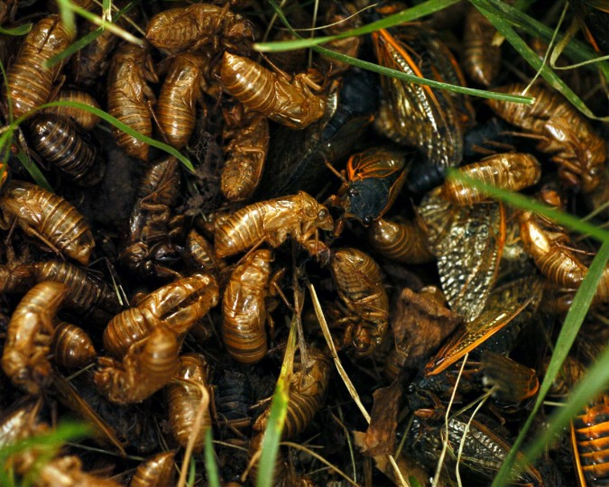 Cicada shells and bodies pile up beneath a tree as brood X near their final days. (Kim Hairston, The Baltimore Sun)