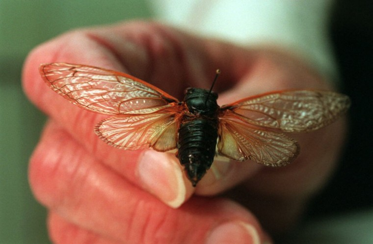 Dr. Richard C. Froeschner, emeritus entomologist at the Smithsonian Institution, displays some examples of the 17 year cicadas that emerged in southern Maryland in 1996. (John Makely, The Baltimore Sun)