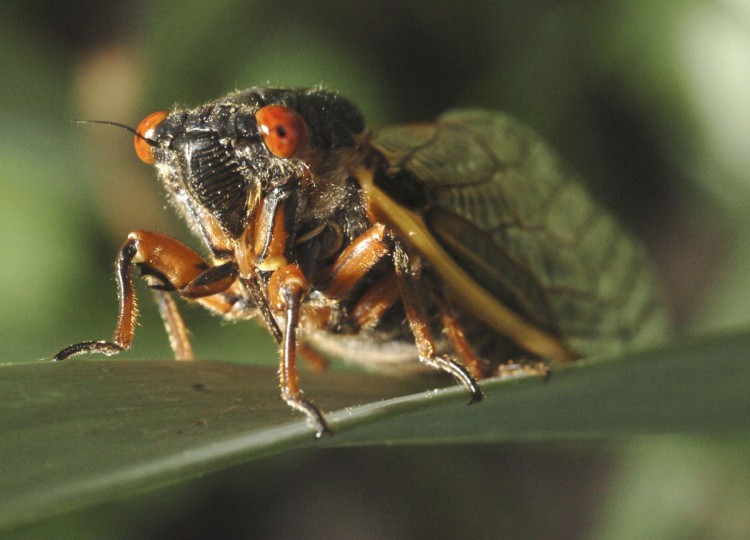 After a 17-year underground nap, a cicada emerges in Columbia, looking for love in 2004. This one was promptly eaten by a robin. (David Hobby, The Baltimore Sun)