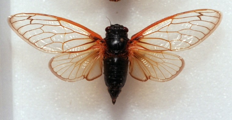 An example of the 17 year cicada that emerged in southern Maryland in 1996. (John Makely, The Baltimore Sun)