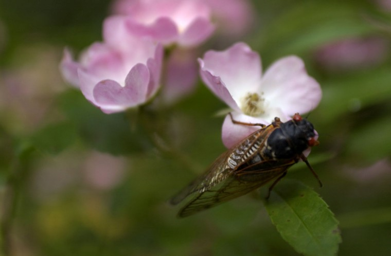 A cicada rests on a flower in Marian Farabee's yard. Marian Farabee of Oakland Mills has lived in her neighborhood for 33 years. She needs to use earplugs when outside in her garden because the cicadas are so loud. (Rachael Zack, The Baltimore Sun)