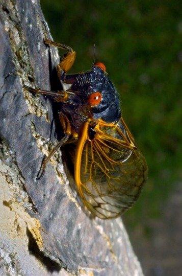 A cicada of Brood X climbs a tree at a school in 2004. Cicadas emerge once every 17 years -- the next mass showing of Brood X will be in 2021. (Karl Merton Ferron, The Baltimore Sun)