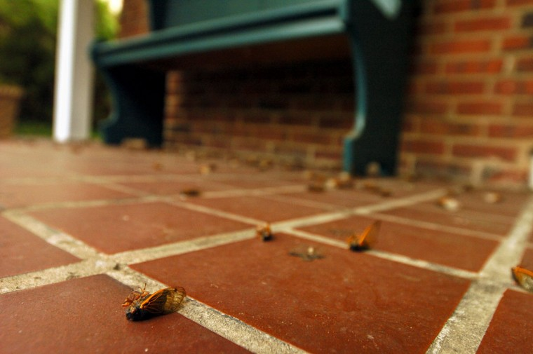Cicada bodies lay on a porch in Cedarcroft as brood X near their final days in June of 2004. (Kim Hairston, The Baltimore Sun)