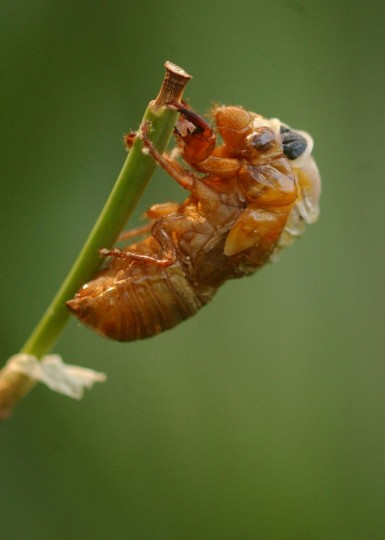 After emerging from its 17-year subteranean home a cicada molts and dries its wings in 2004. (Jerry Jackson/The Baltimore Sun)
